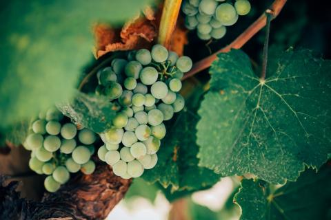 Translations for the wine industry oenology